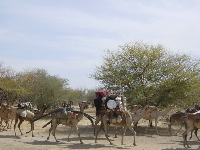 Camel caravan in Chad